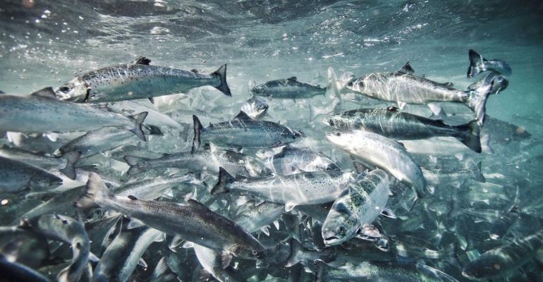 Salmon underwater: Atlantic salmon (salmo salar) in aquafarm.