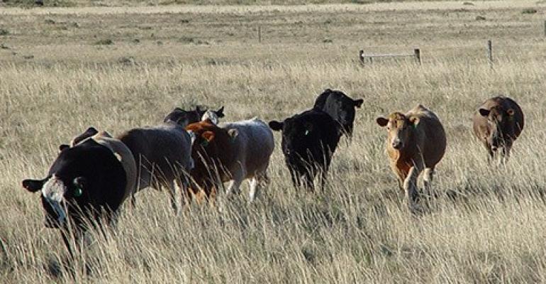 ARS cattle grazing Northern Plains.jpg