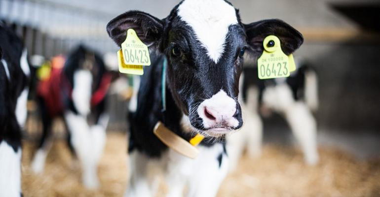 Calves are debudded to avoid harming each other or humans.