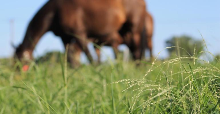 A horse grazes annual warm-season forages in St. Paul, Minnesota.