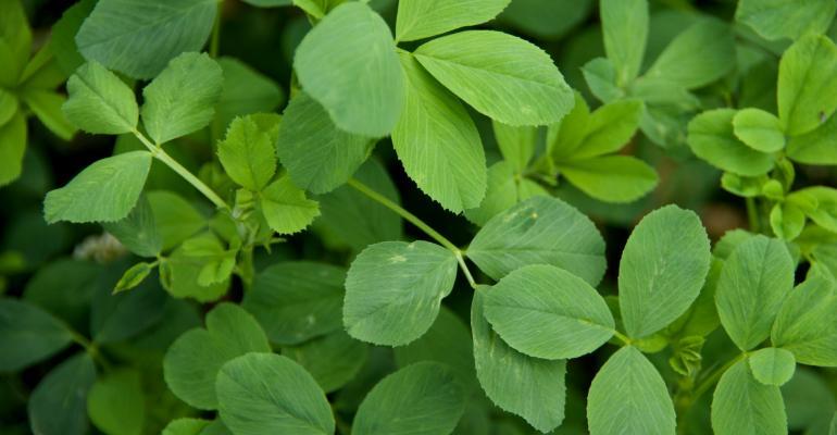 close up of alfalfa leaves