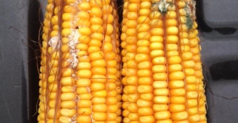 Alltech Mycotoxins_Kansas corn_8.31.16 (1).jpg