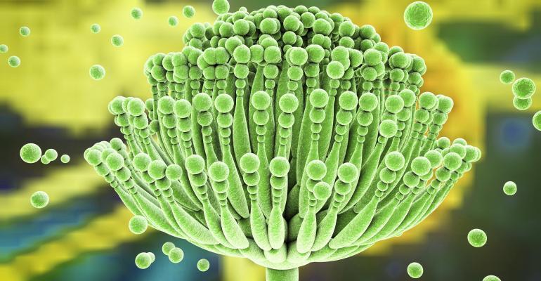 Aspergillus fungi