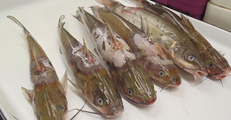 Catfish with columnaris disease