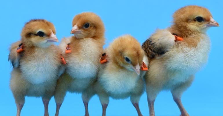 line of chicks