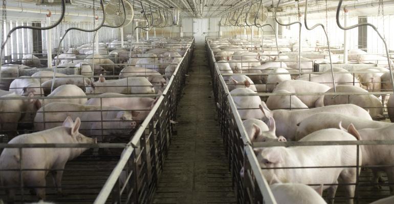 happy pigs BIVI