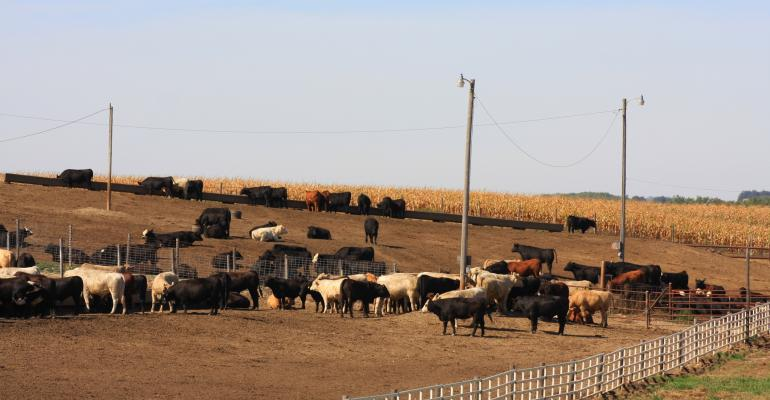 Cattle in U.S. feedlot
