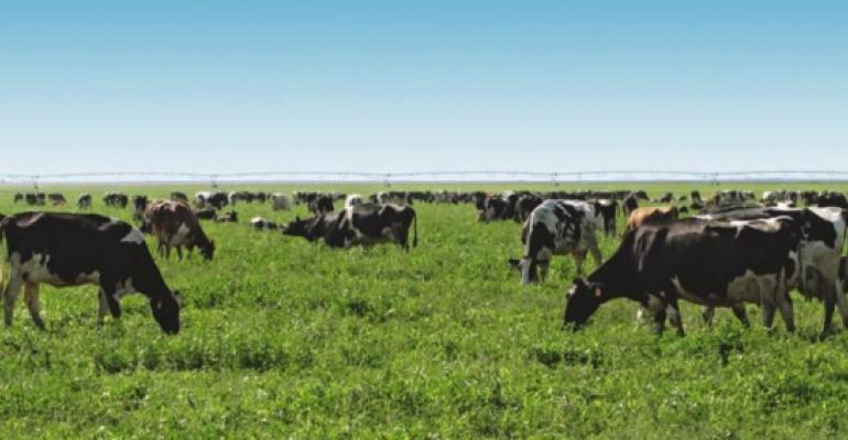 dairy cows grazing in Colorado