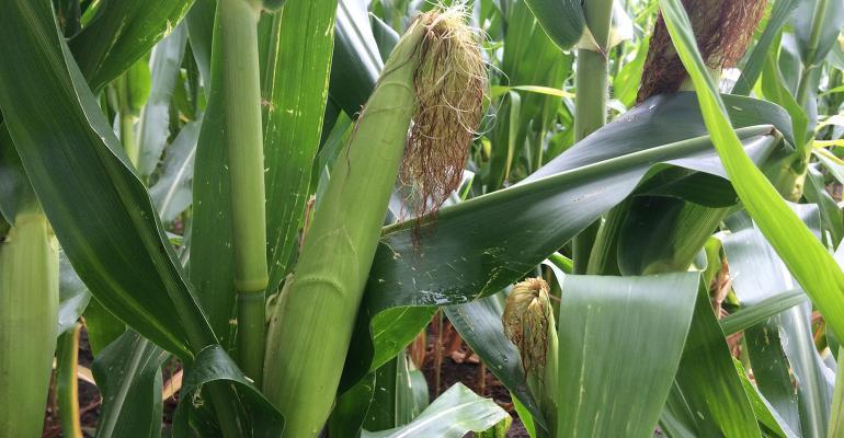 Corn2-081219-800.jpg