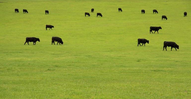 Country Junction Feeds cattle grazing IRT.jpg