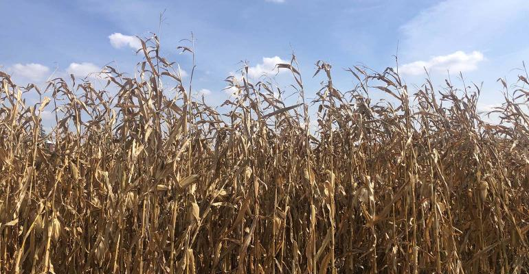 Dry corn in a field against blue sky