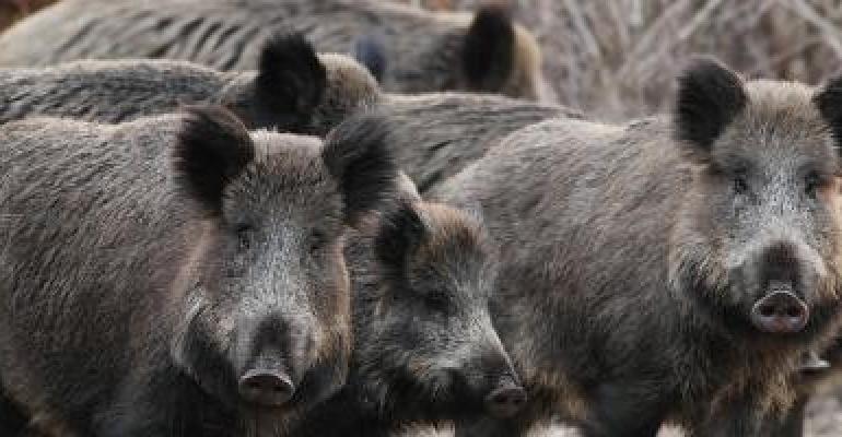EFSA wild boar.jpg