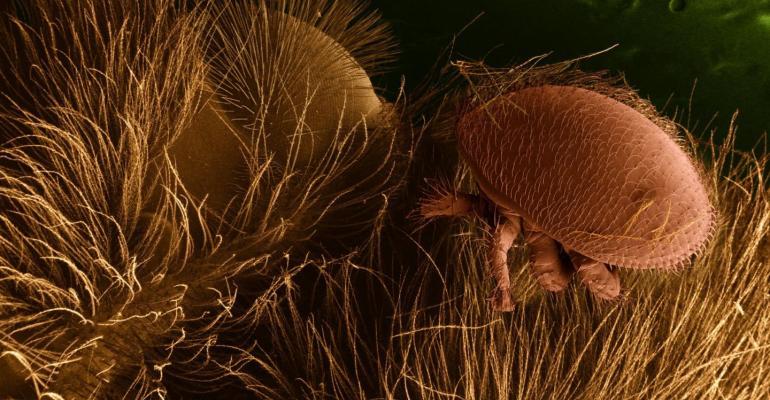 Verroa mite on honeybee