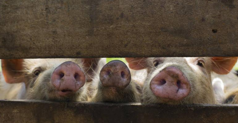 pigs looking through gap