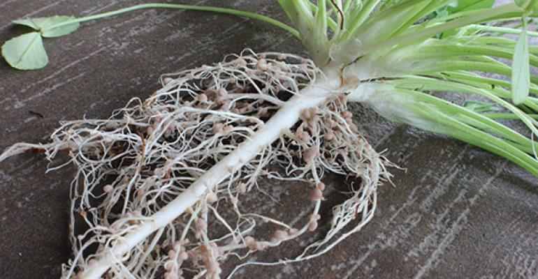 tap root of clover plant