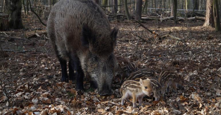 FV Berlin wild sow and offspring.jpg