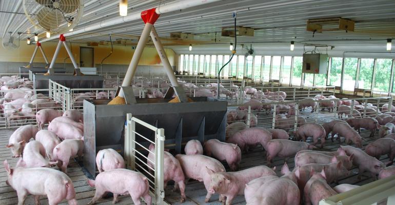 Feeder pigs.jpg