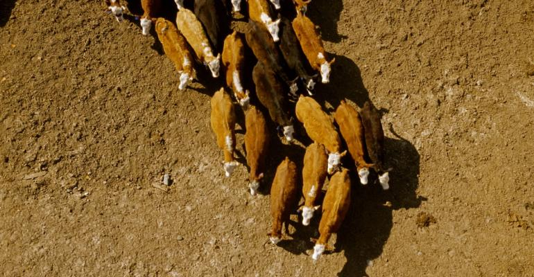 aerial view of feedlot cattle
