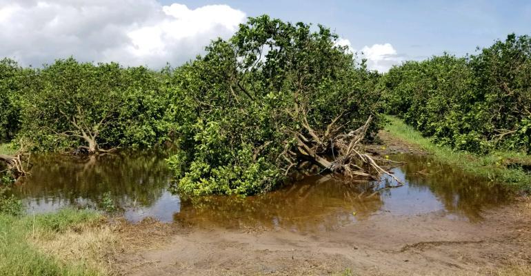 Florida Citrus Irma