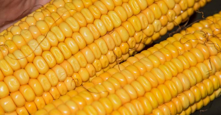 Two ears of dent corn