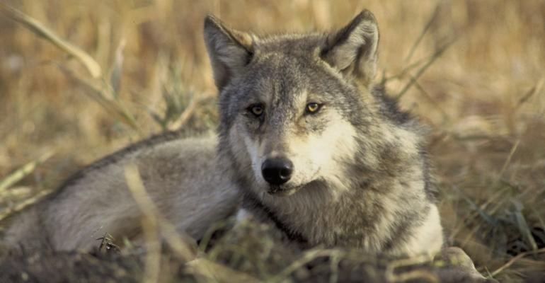 gray wolf sitting in grass