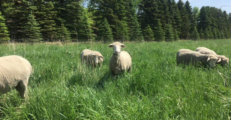 Graing sheep at Angle M Ranch in Esmond, N.D.