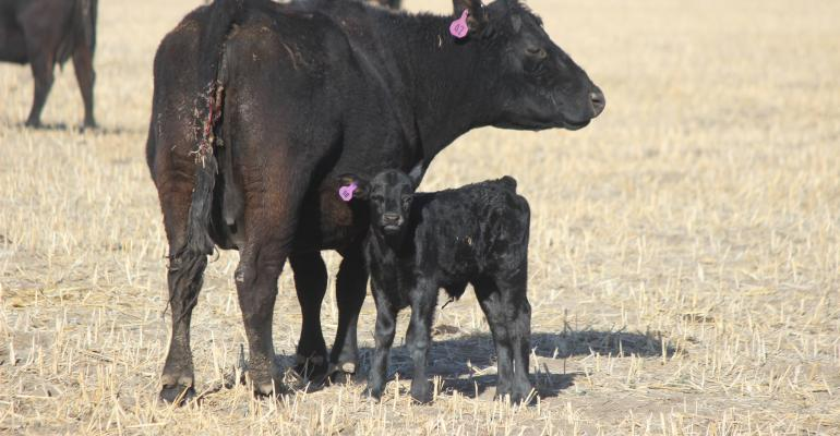 Kansas State cow calf pair.jpg