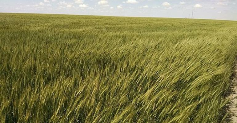 Kansas State grazing wheat.jpg