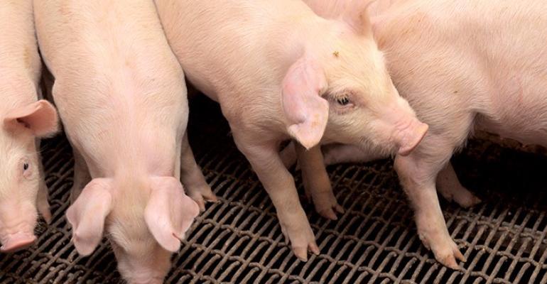 Kansas State nursery pigs.jpg