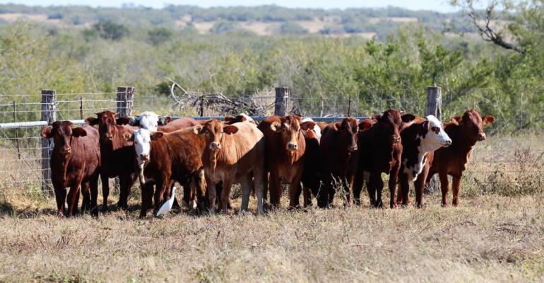 Kings Ranch cattle.jpg