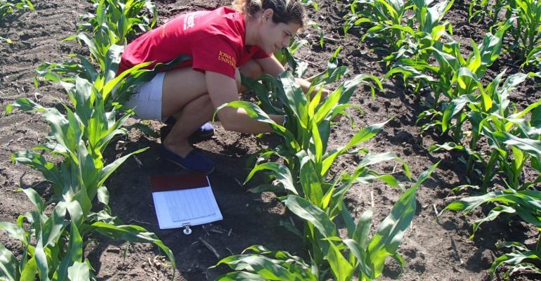 Iowa State University researcher Laila Puntel works in corn field
