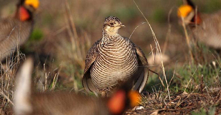lesser prairie chicken grazing in field