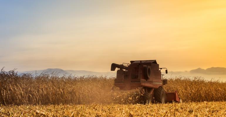Harvesting corn in glow of evening sun.