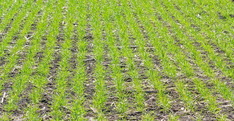 winter wheat in fall