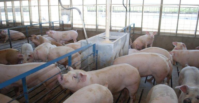 finishing pigs