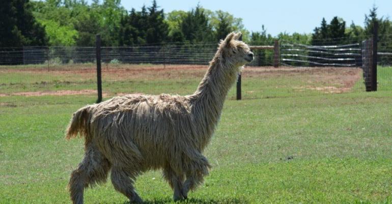 Alpaca in full fleece