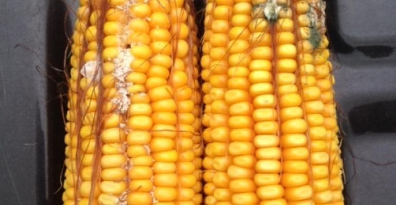Early results from the 2018 Alltech Harvest Analysis indicate high levels of mycotoxins in corn silage across the U.S.