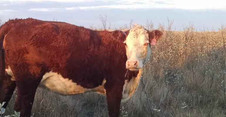 NDSU pinkeye cow.jpg