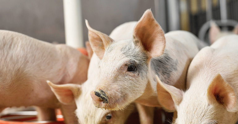 Both dietary fiber and immune stimulation increased the threonine requirement for protein deposition in growing pigs; however, the interaction of the two factors did not result in a further increase.