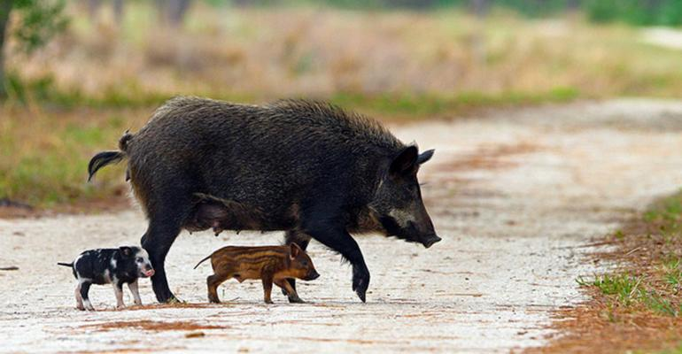A feral hog and two piglets