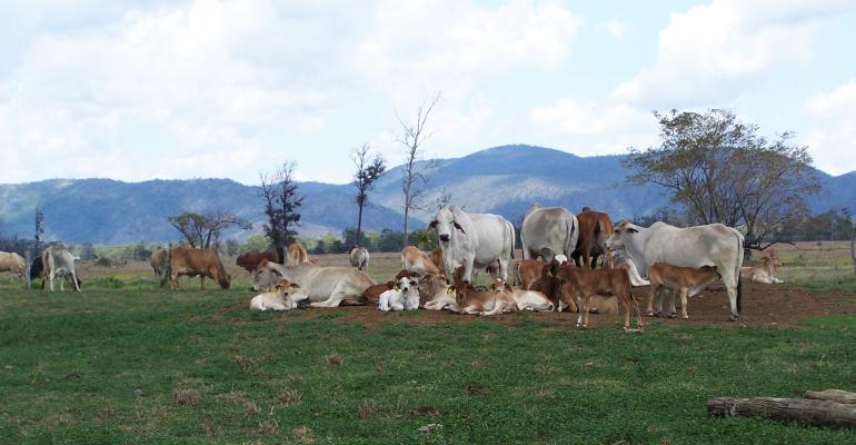 Australian cows and calves