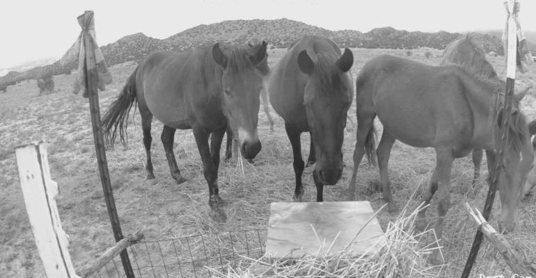 wild horses at feeding station