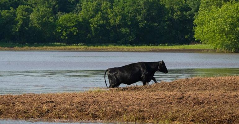 Oklahoma State cattle postflood2.jpg