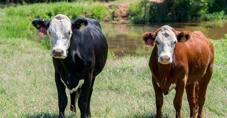 Oklahoma State replacement heifers.jpg
