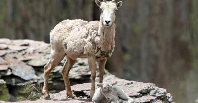 A California bighorn ewe guards her lamb in Rattlesnake Canyon in southeast Oregon.
