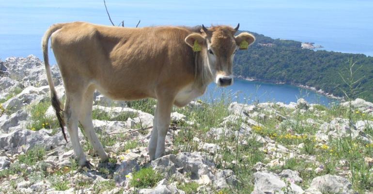A Buša photographed on a high plain near Dubrovnik, Croatia.