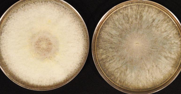 morphology of fusarium