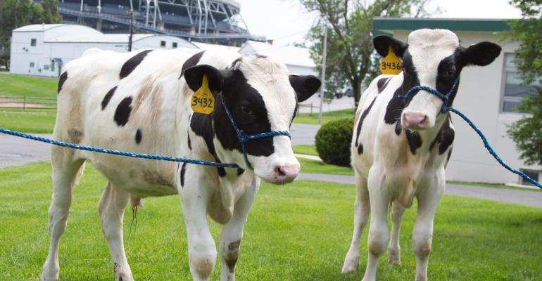 Shown are two of the 15 Holsteins that were born at Penn State's Dairy Barns in 2017, the result of a research project to reintroduce valuable genetic variance to the breed.
