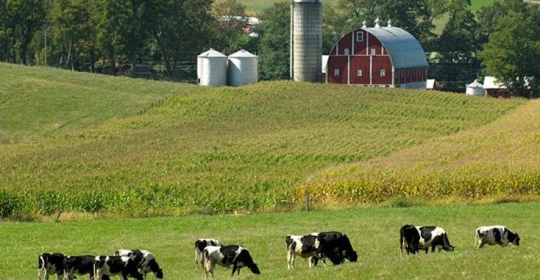 Dairy cattle graze in field.