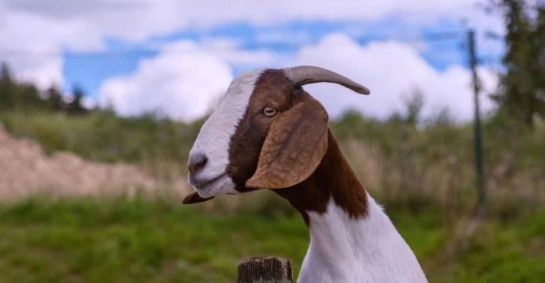 Pirbright RVF goat.jpg